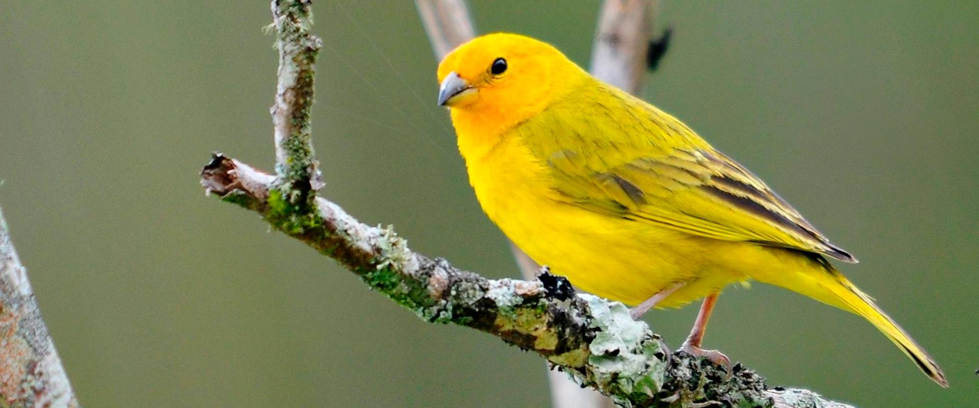 ACPSI - Associação dos Criadores de Pássaros Silvestres de Ituporanga.